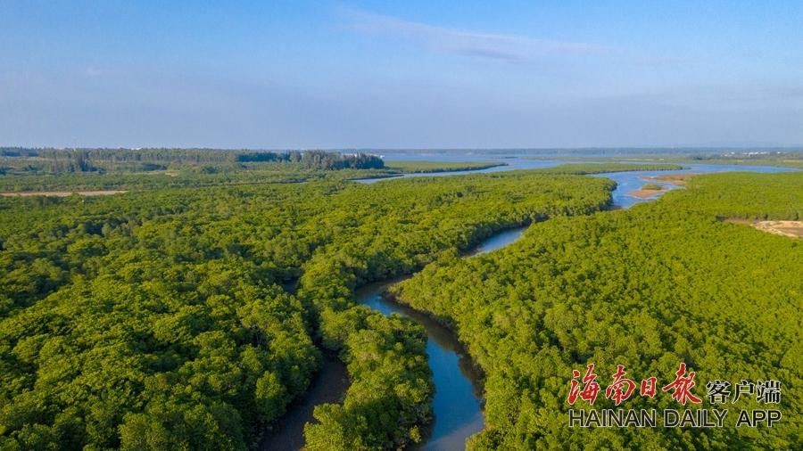 海南儋州:红树成林鸟成群